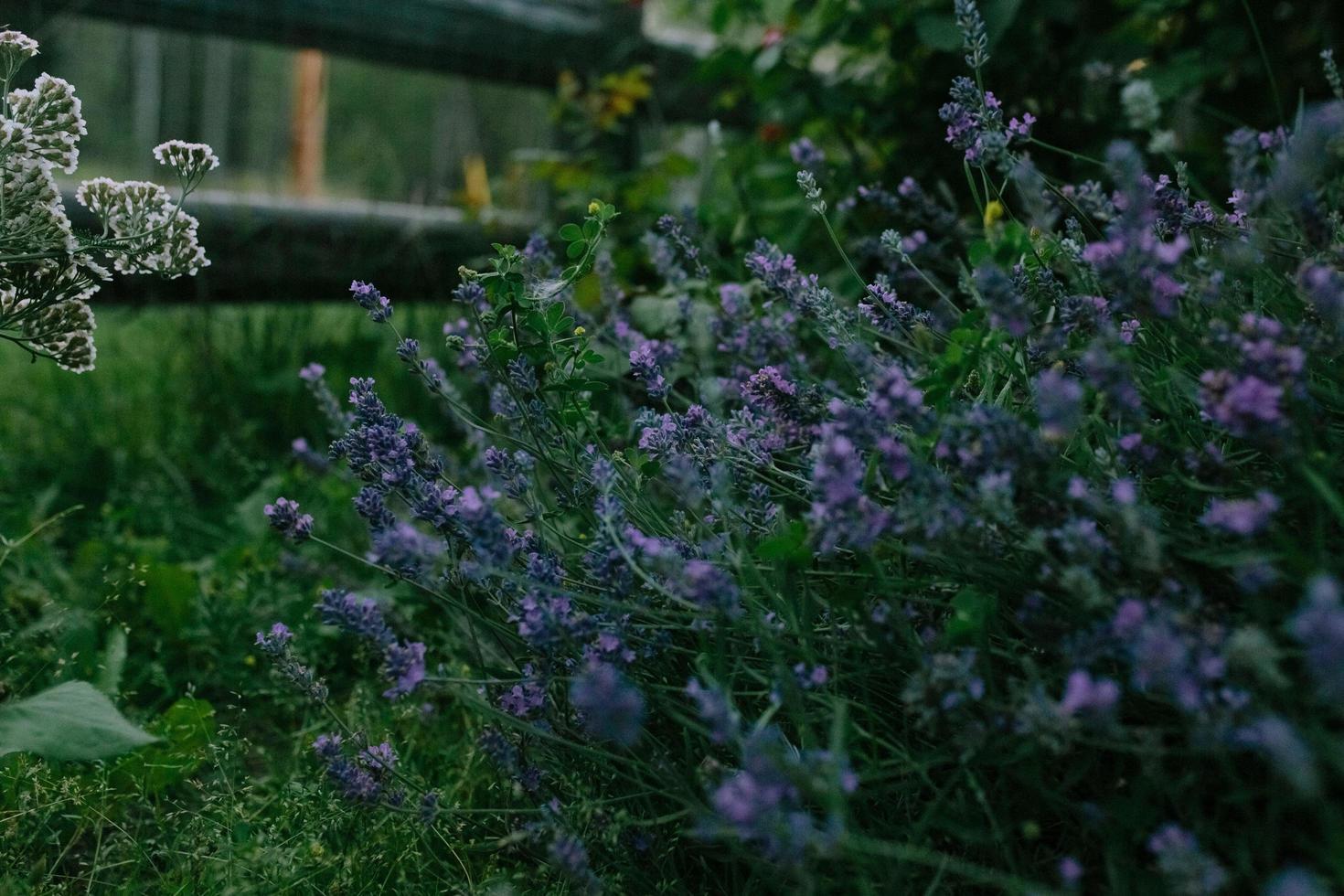 lila lavendelblommor foto