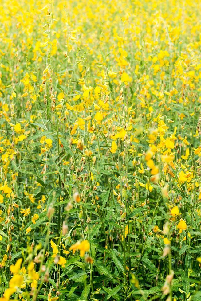 crotalaria chachoengsao blommor foto
