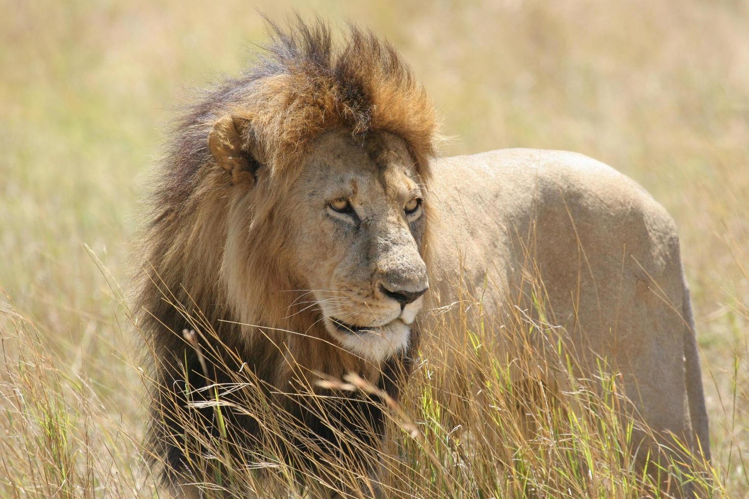 vilda manliga lejon står i ett fält foto