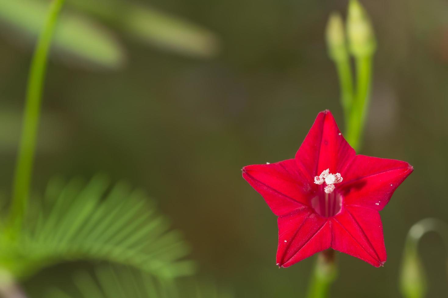 cypress vinstockar blomma foto