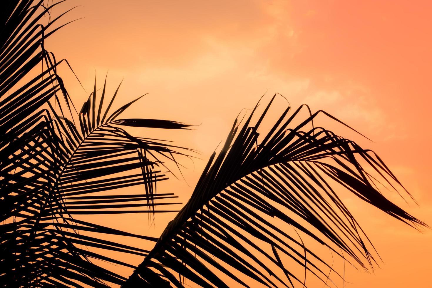 solnedgång silhuett av kokosnötsblad foto