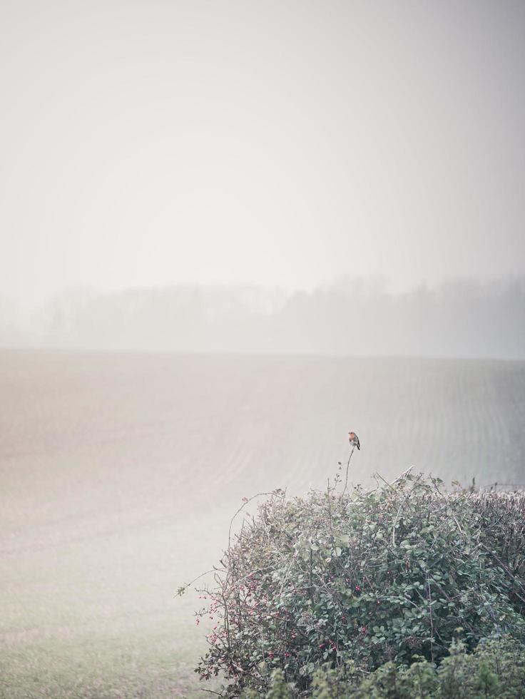 Robin i dimman foto