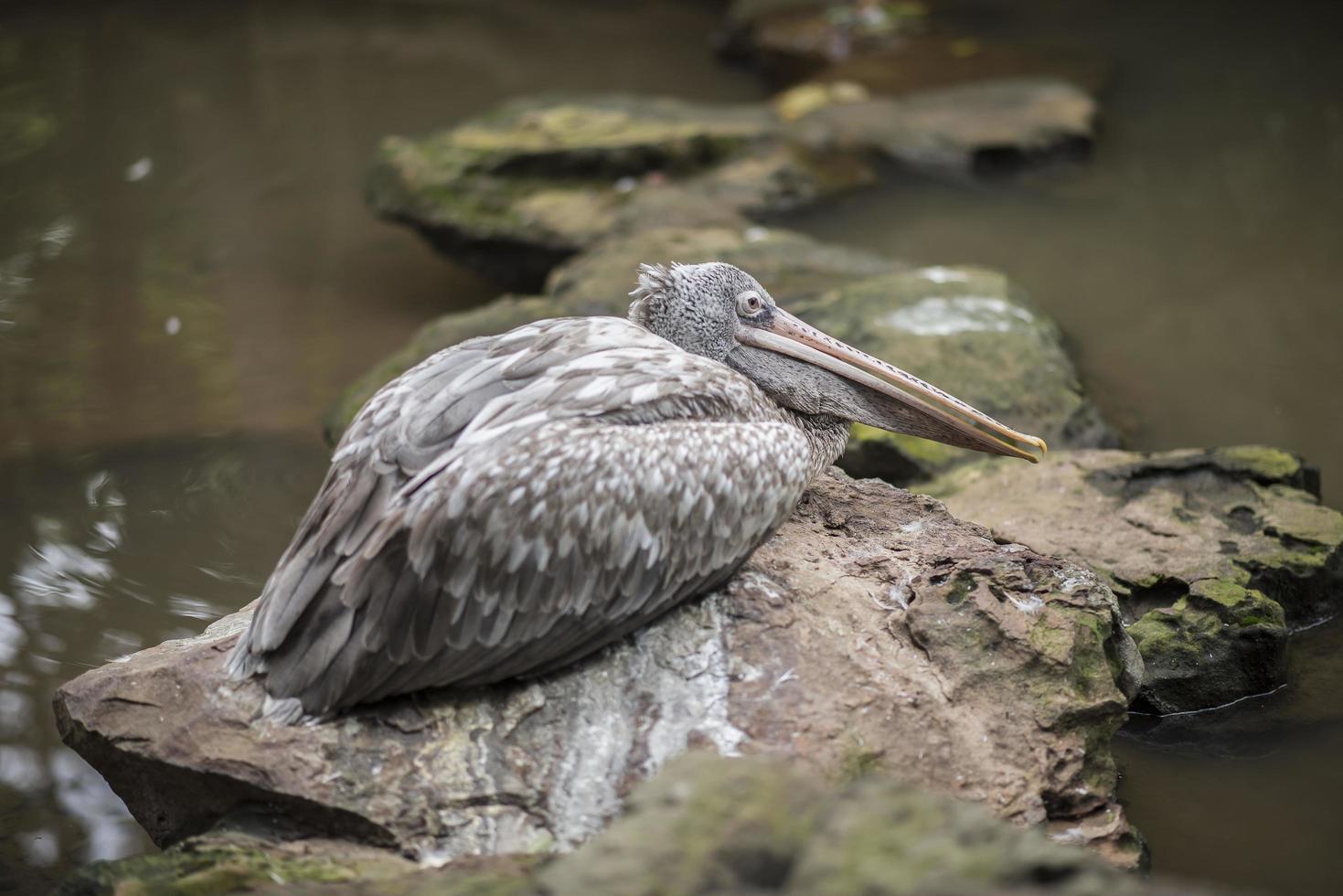 grå pelikan eller fläckfiskad pelikan foto