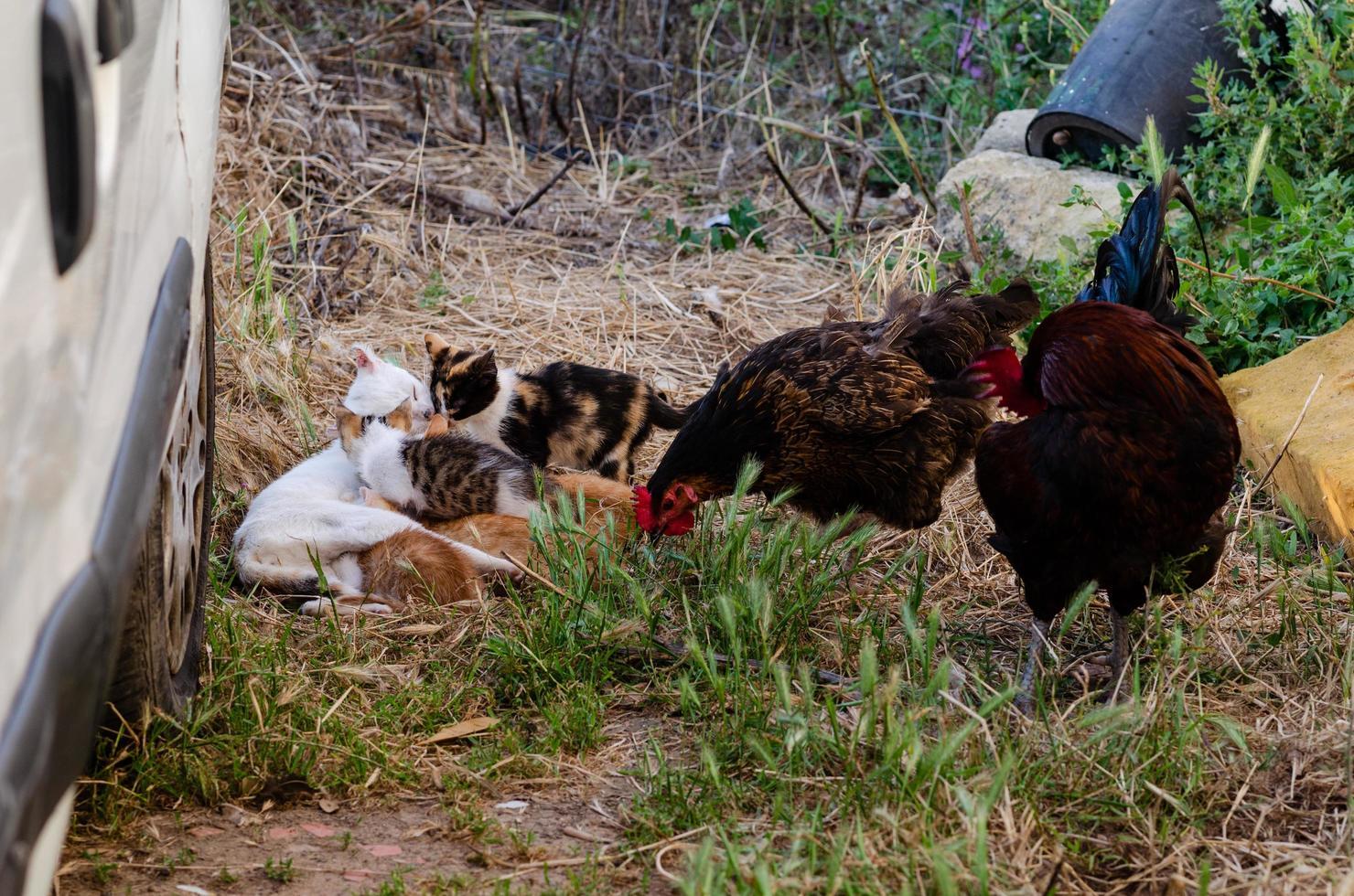kattungar och tuppar på en gård foto