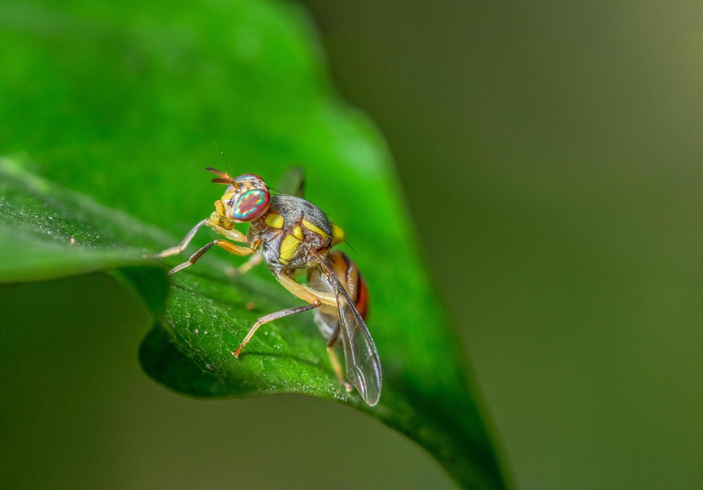 fruktfluga på ett blad foto