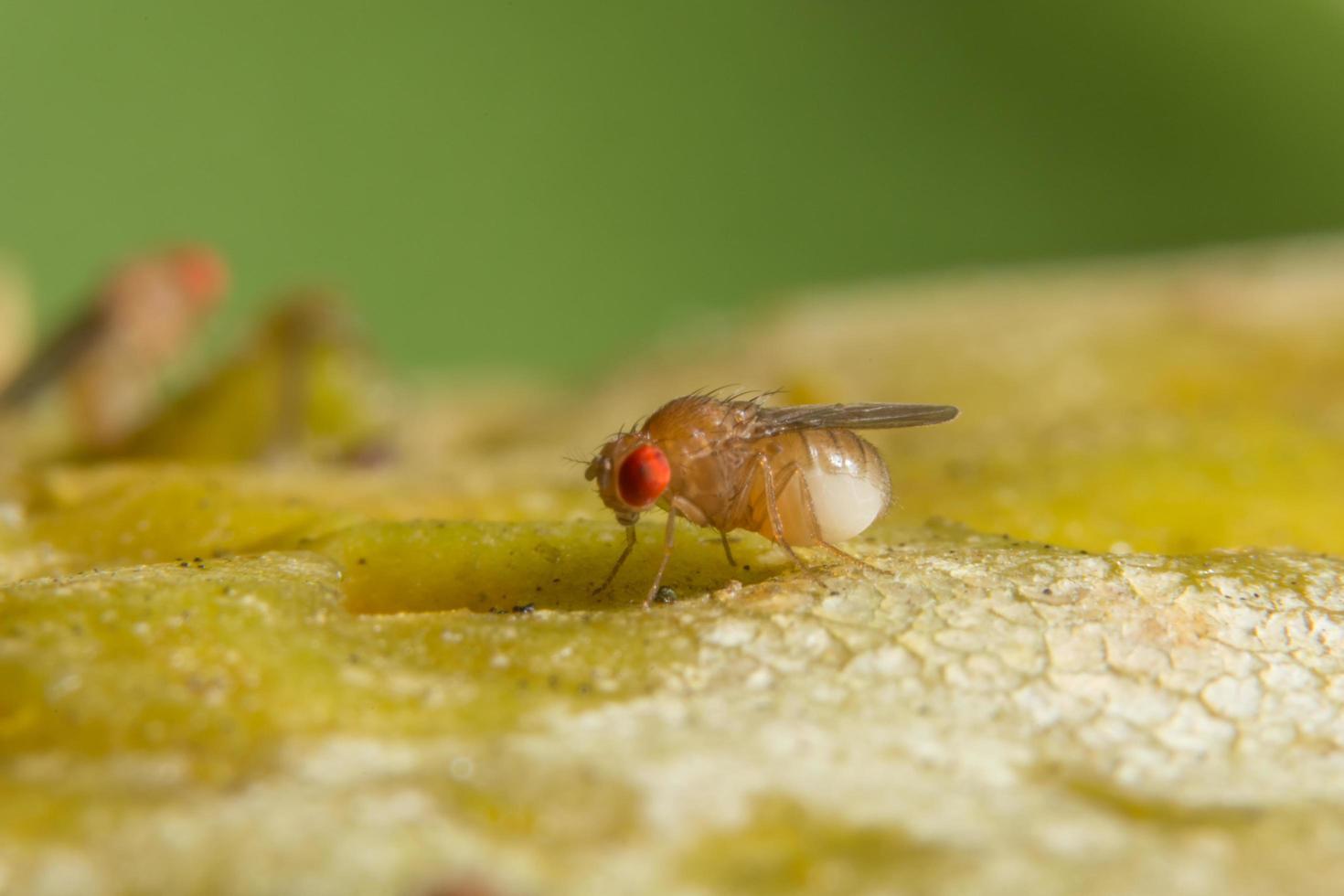drosophila på en växt foto