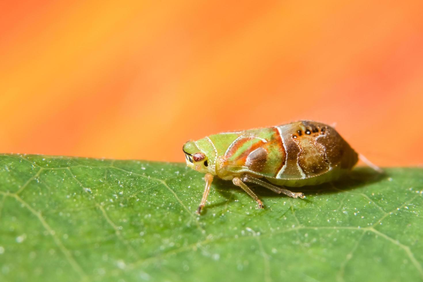 leafhopper på ett blad foto