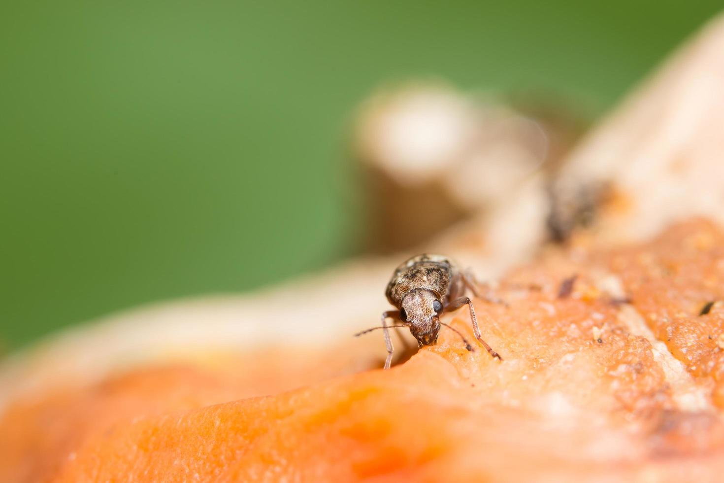 curculionoidea insekt närbild foto