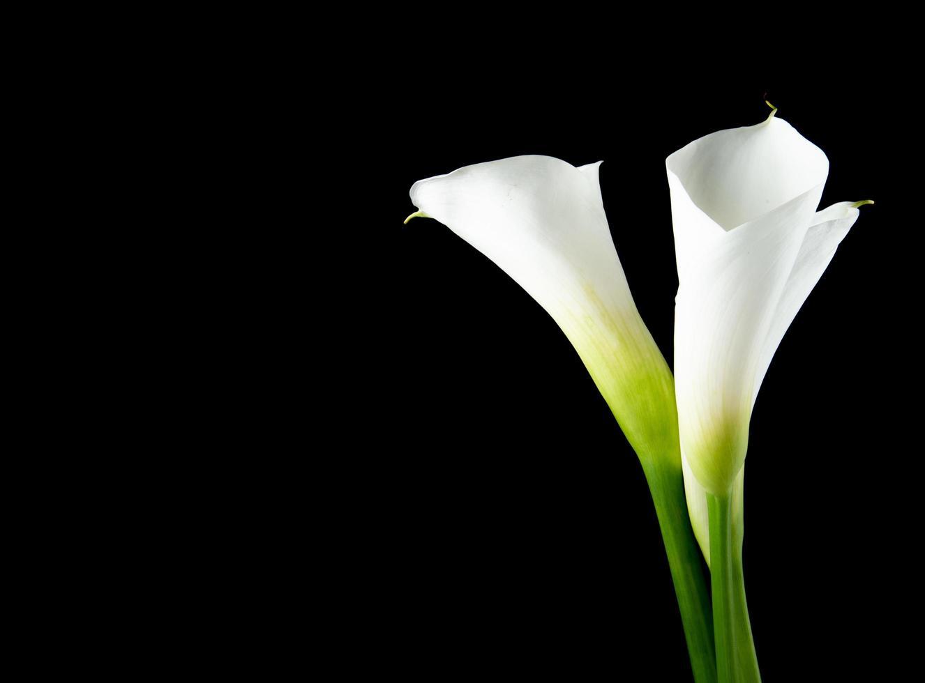 vita calla liljor isolerad på en svart bakgrund foto