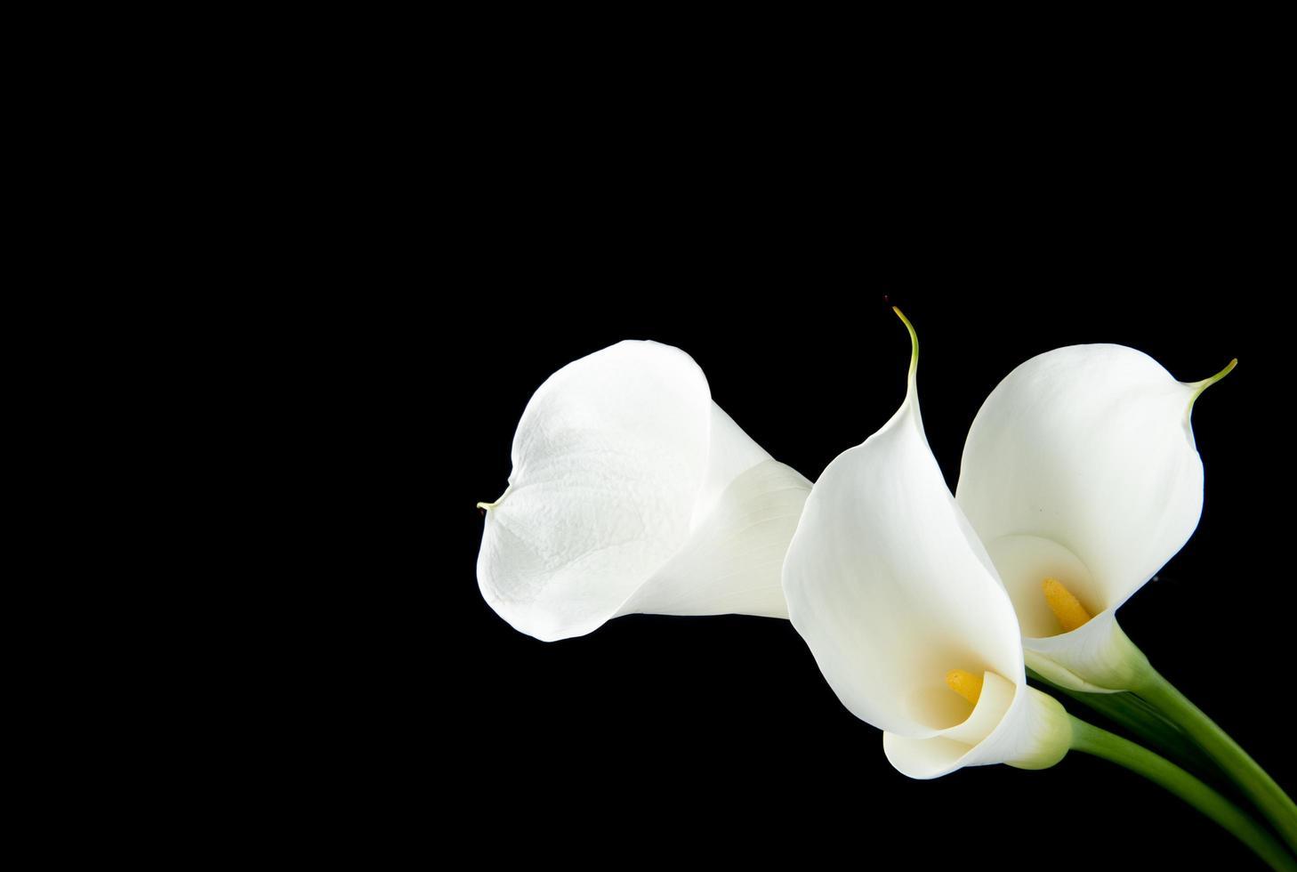 calla liljor på en svart bakgrund foto
