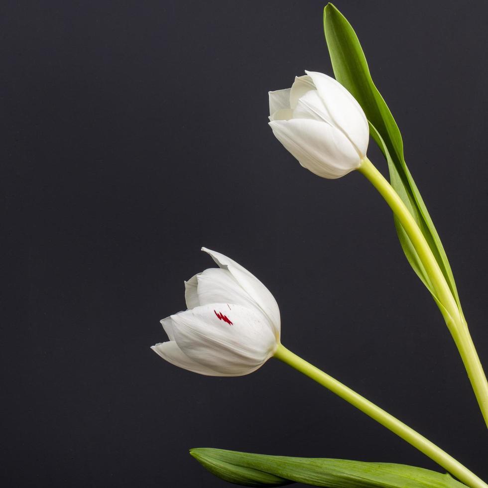 vita tulpaner på en svart bakgrund foto