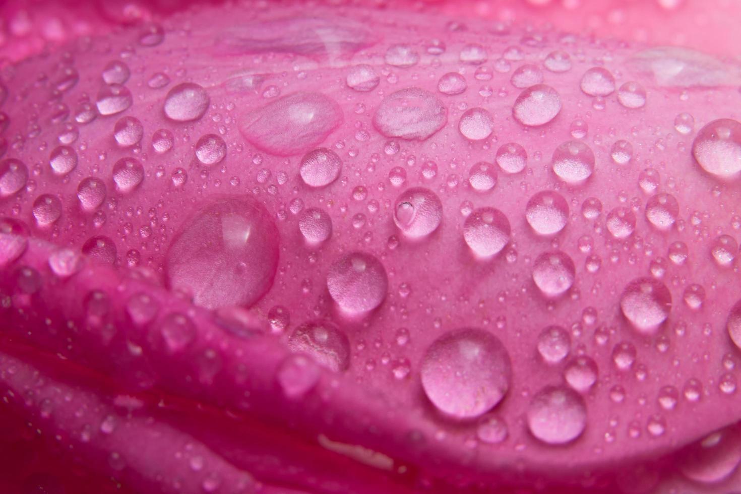 vattendroppar på kronbladen av en rosa ros foto