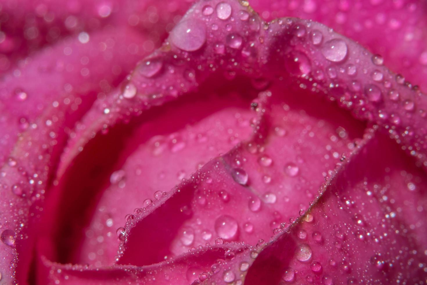 vattendroppar på rosenblad foto