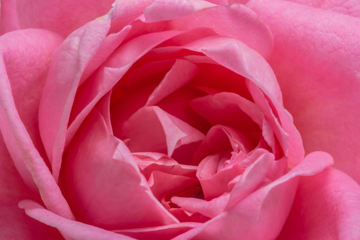 rosa ros närbild foto