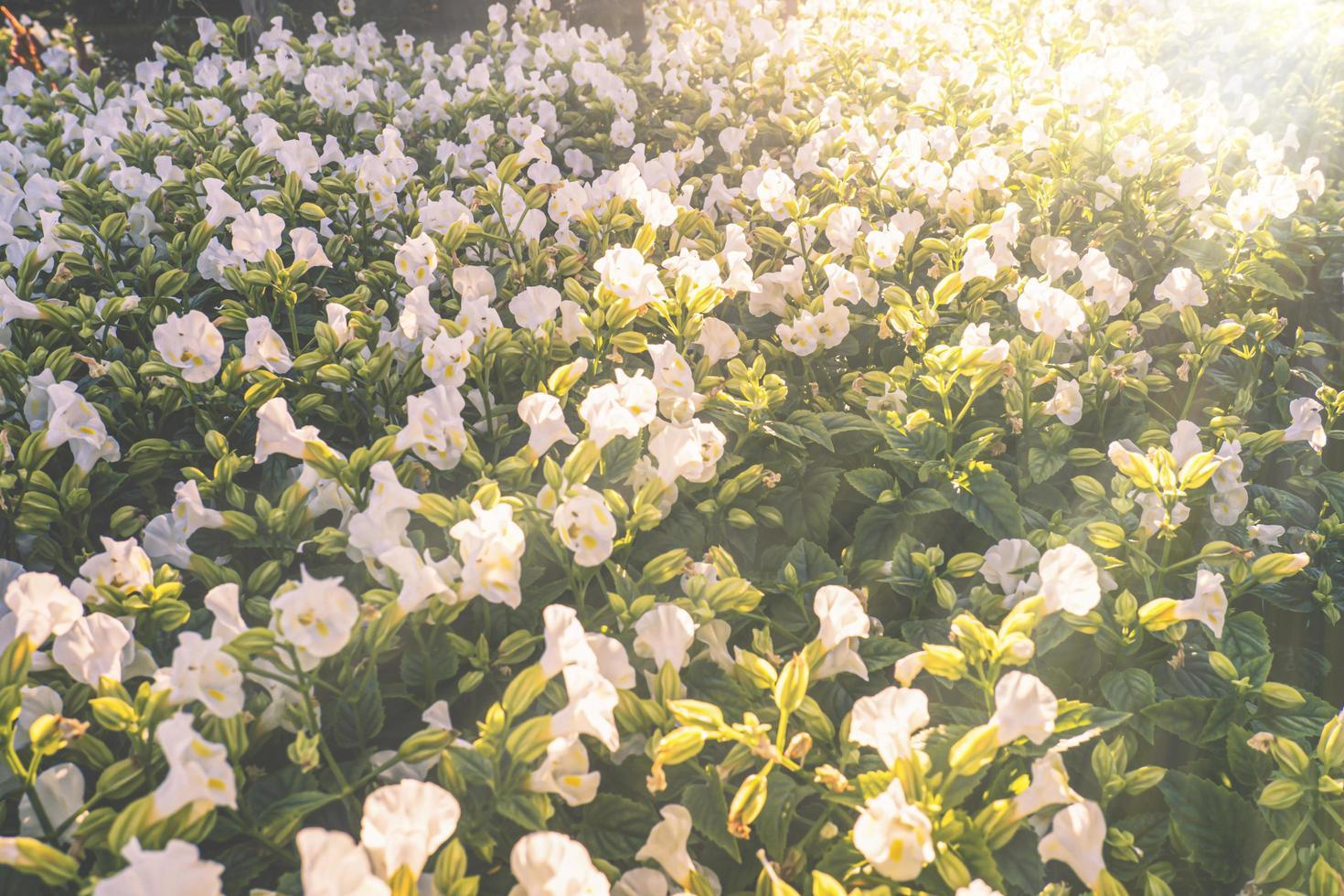 vita blommor i solljus foto