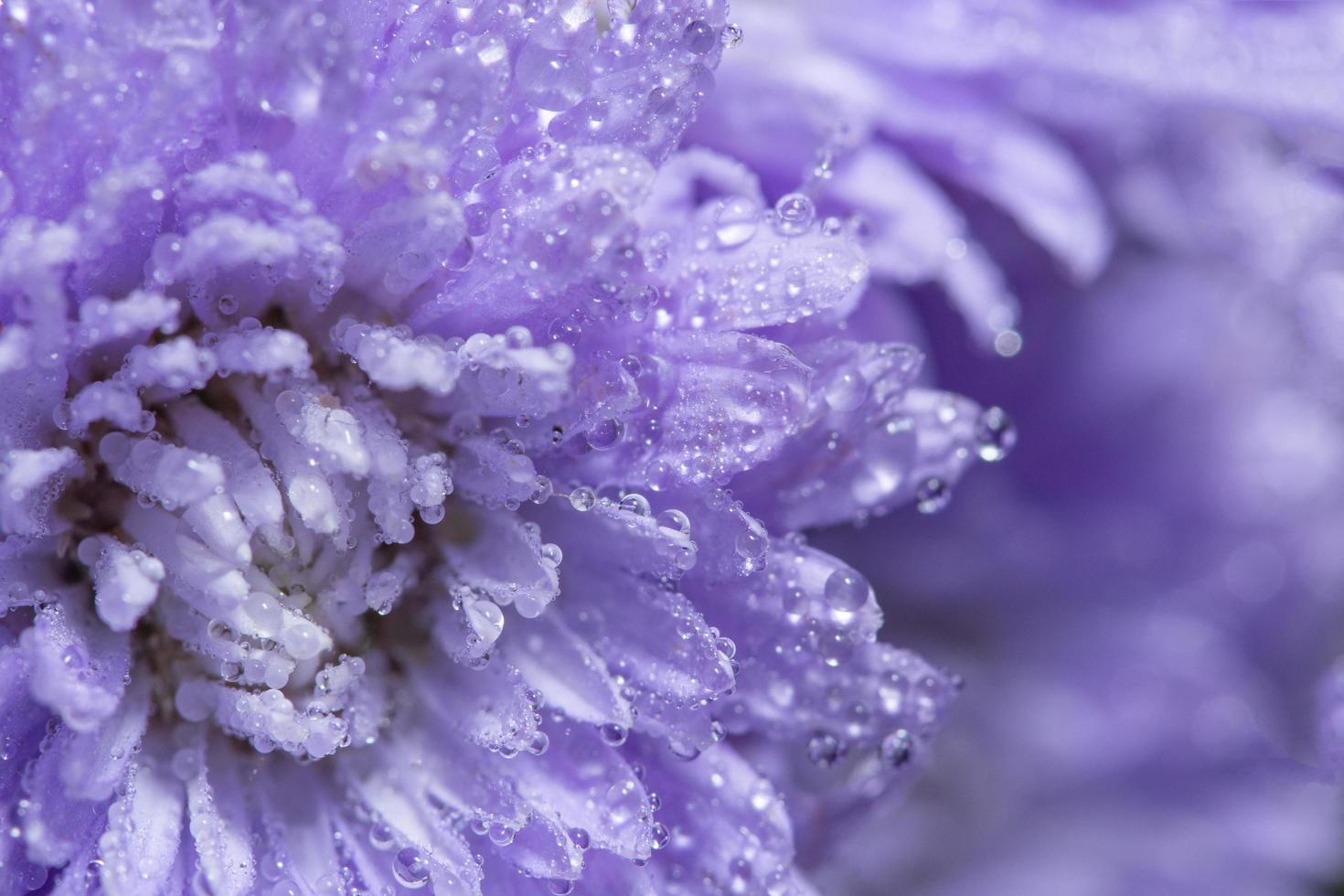 lila blomma bakgrund foto