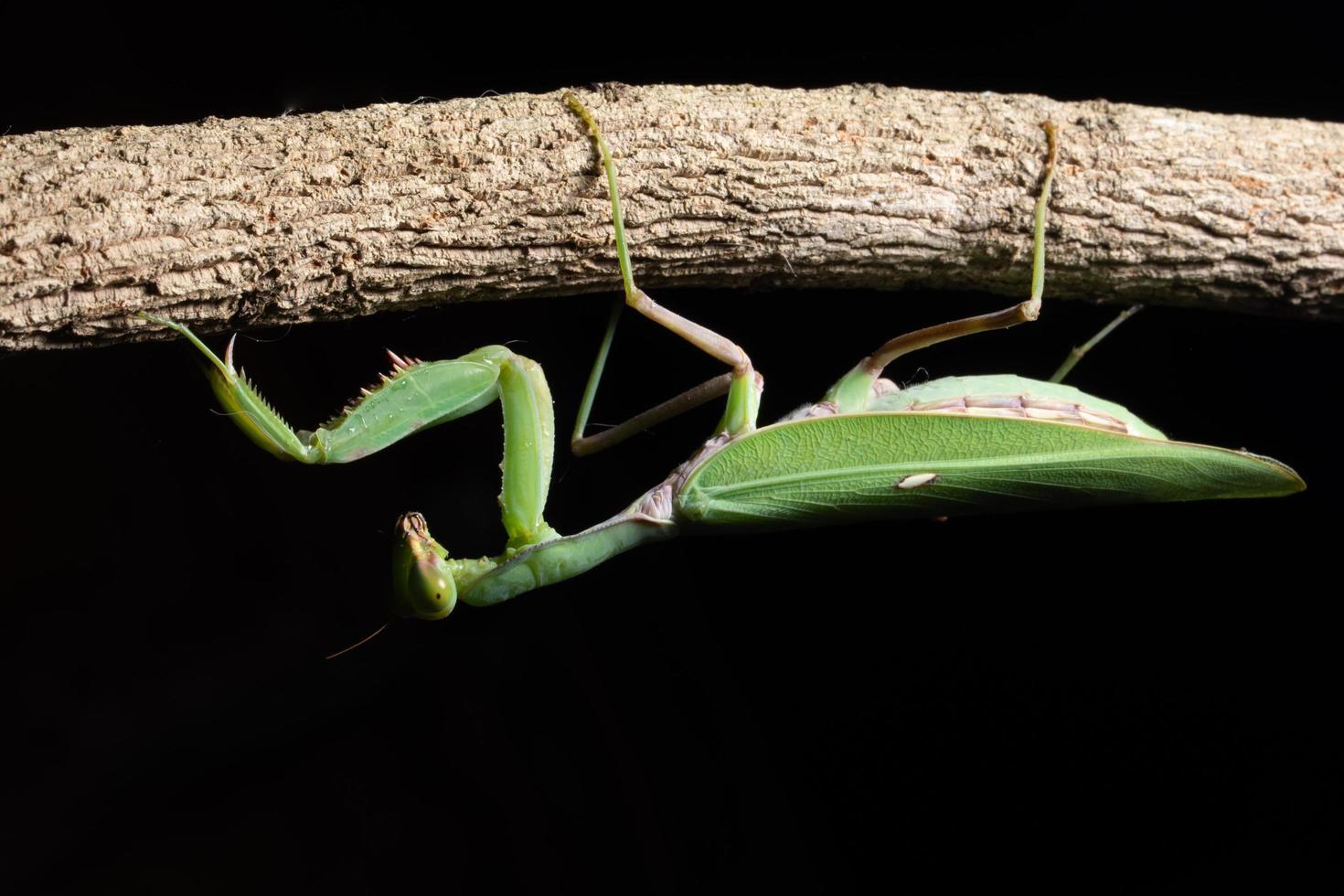 grön mantis på en gren foto