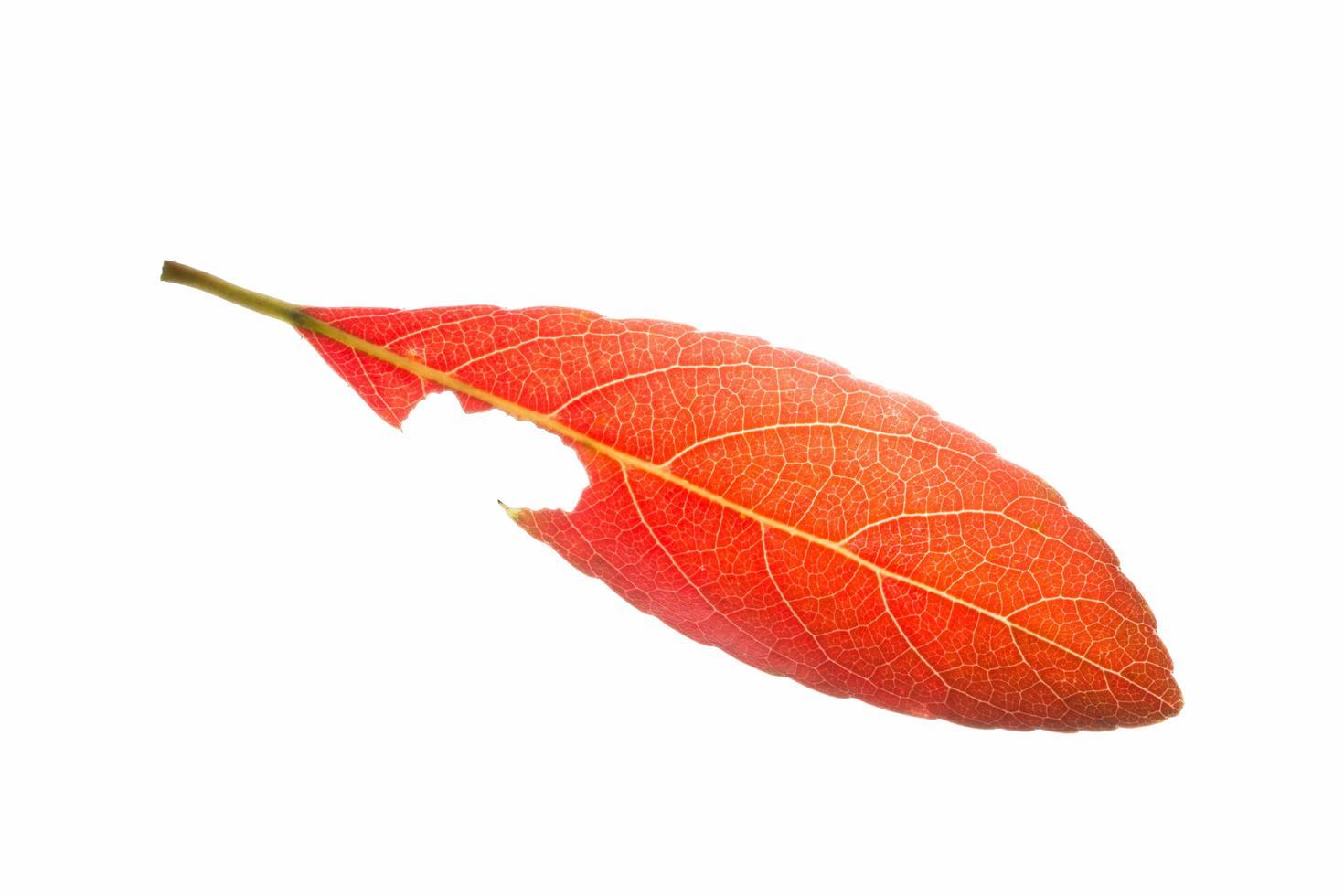 rött blad på vit bakgrund foto