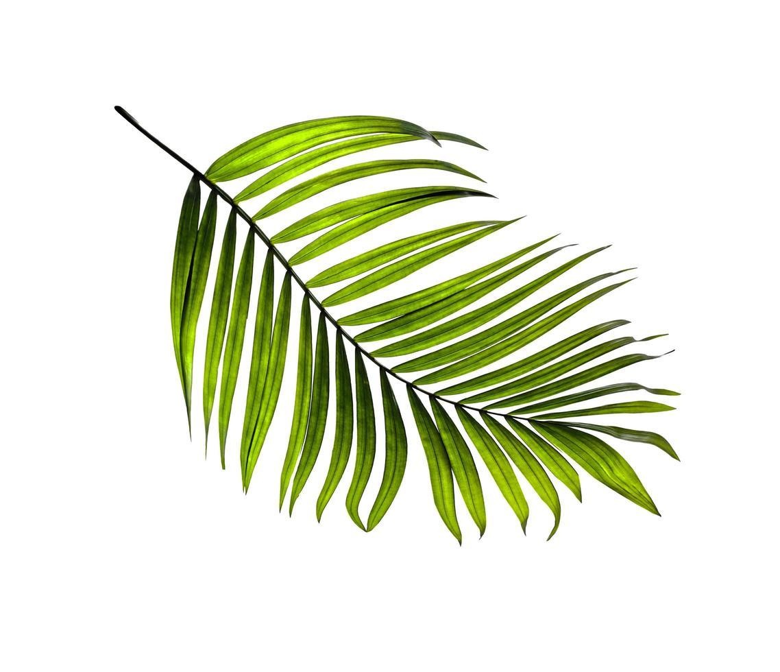 ett kokosnötsblad foto