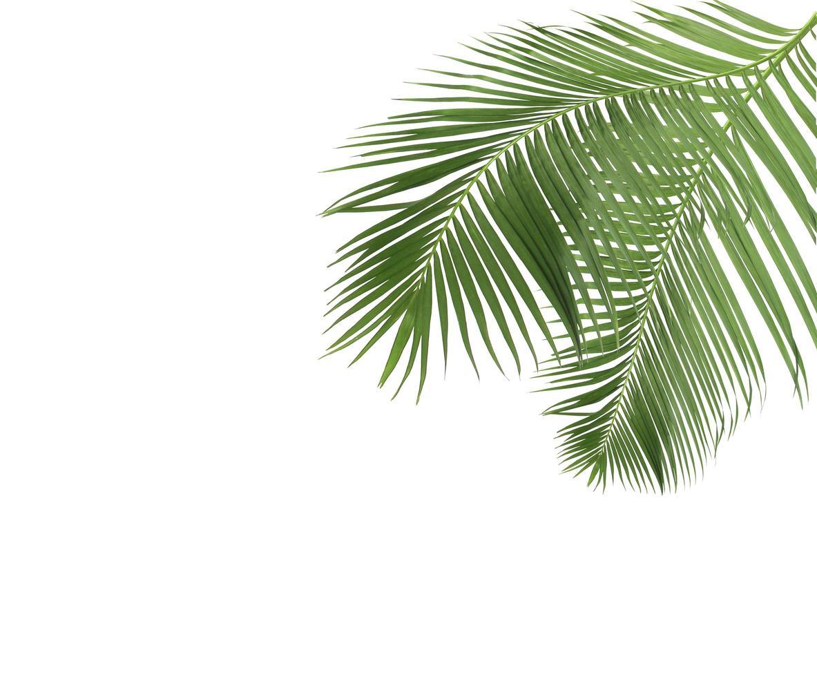 två gröna palmblad på vitt foto