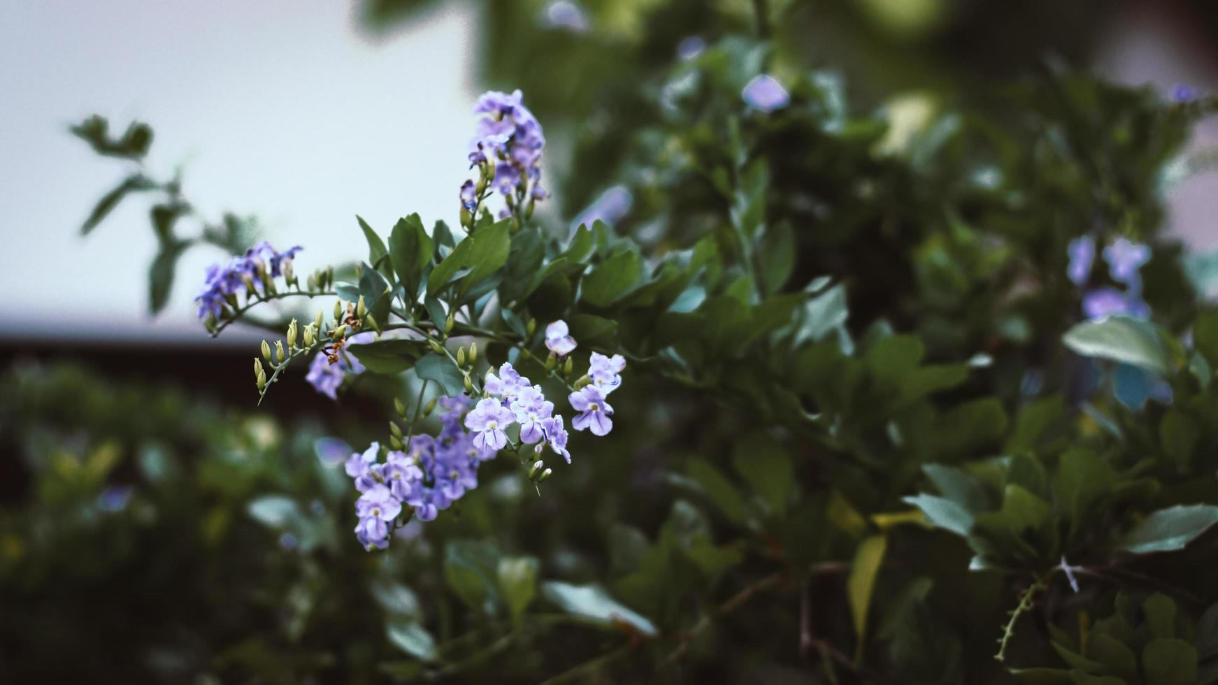lila blommor på ett träd foto