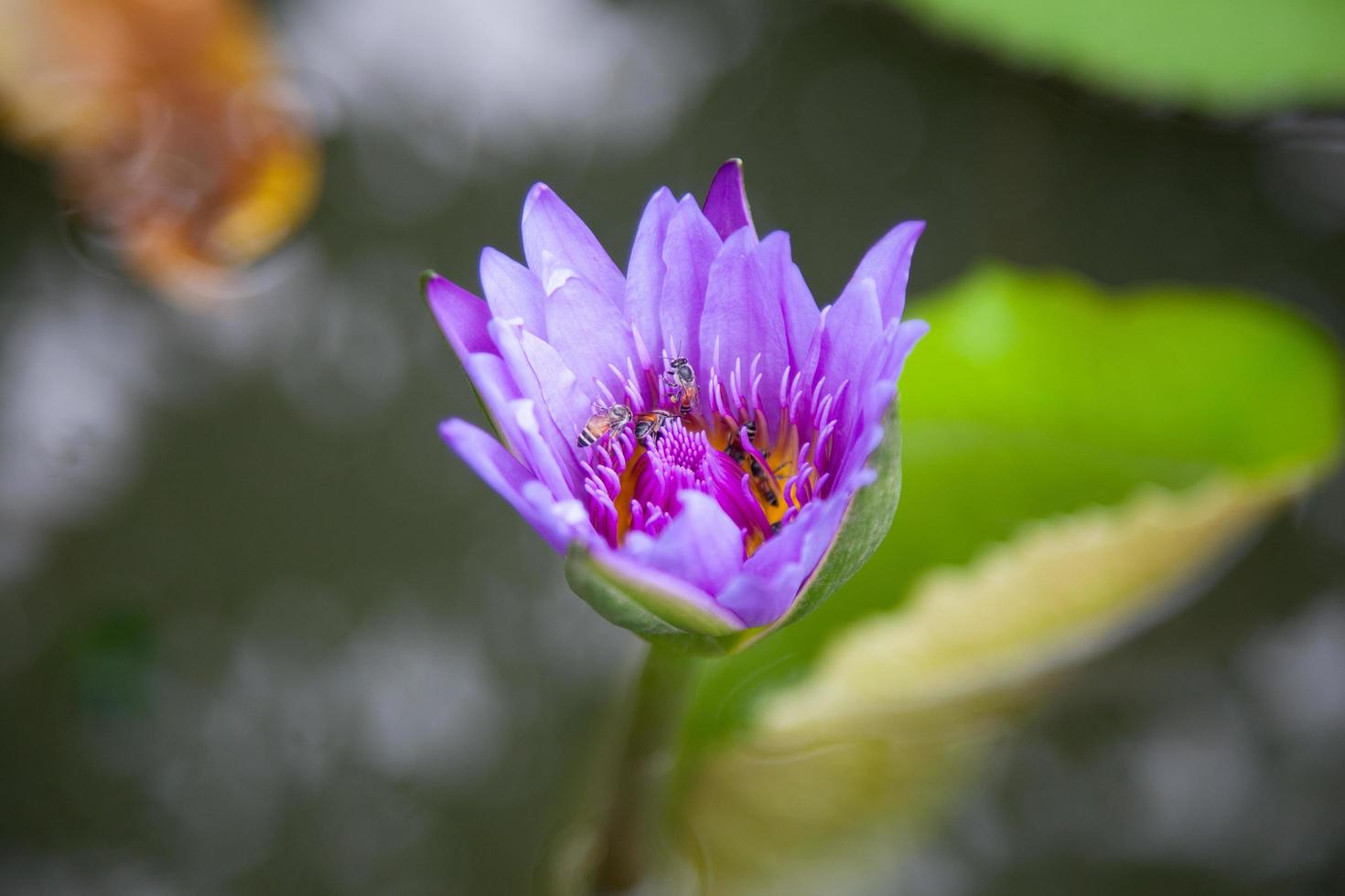blommande blå lotus foto