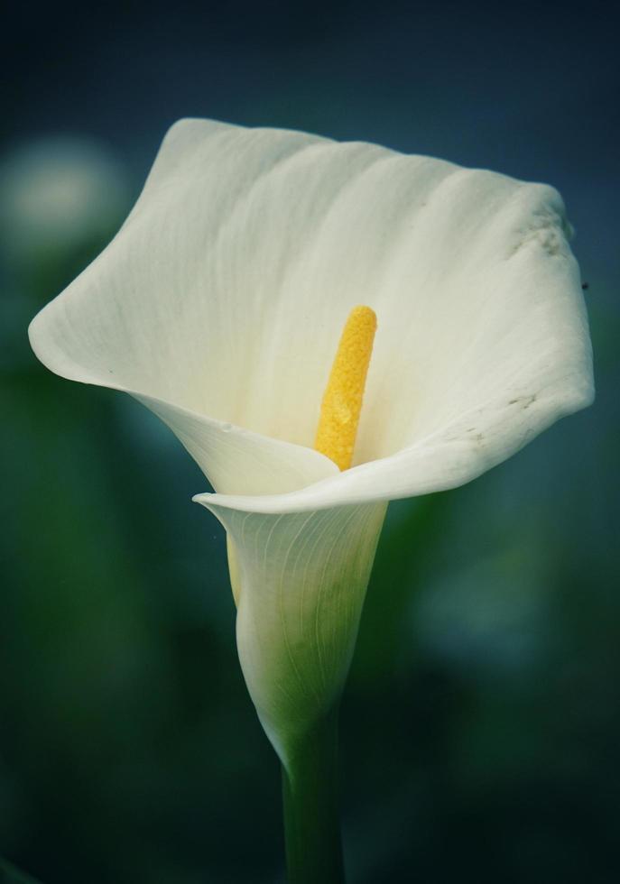 vit calla lilja blomma foto