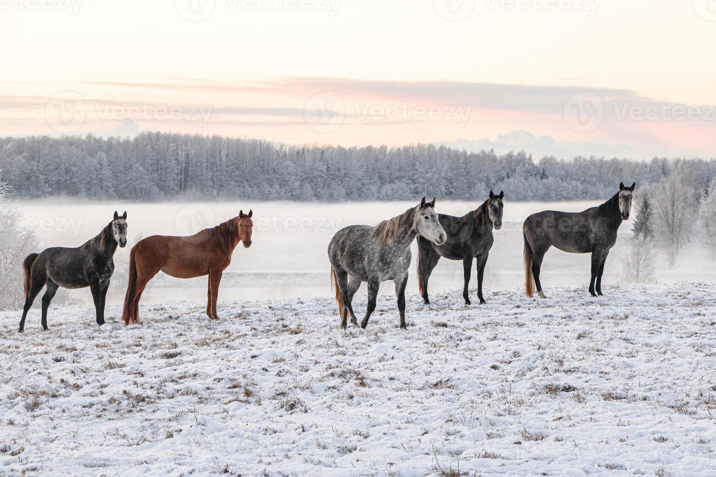 hästar som står i ett snöigt fält foto