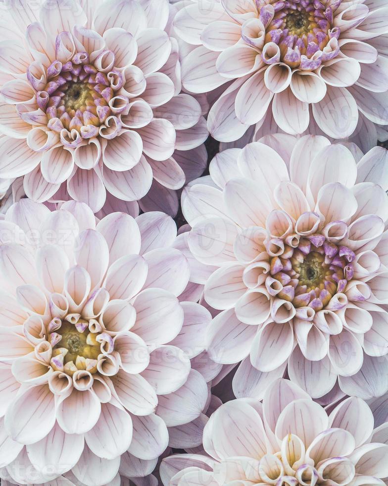 flatlay av blommande dahlia blommor i ljusrosa färg foto