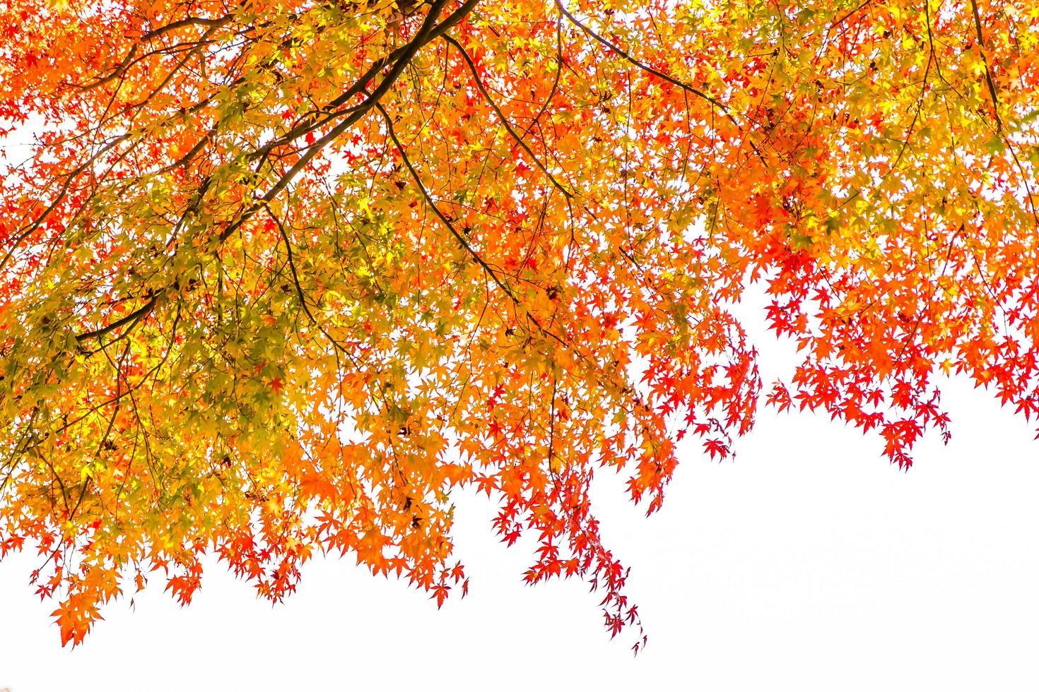 vackert lönnträd på hösten foto