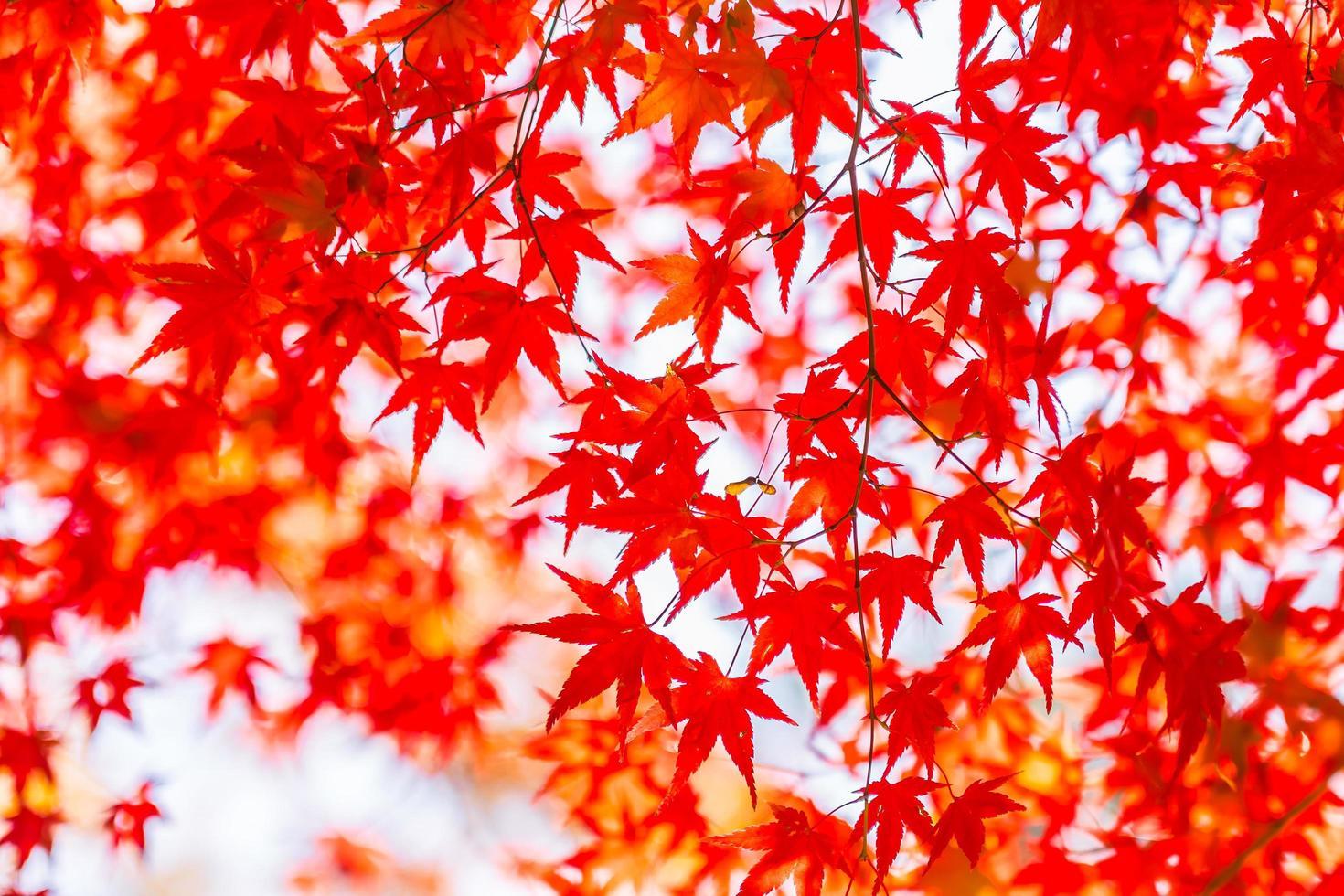 vackra lönnträd på hösten foto