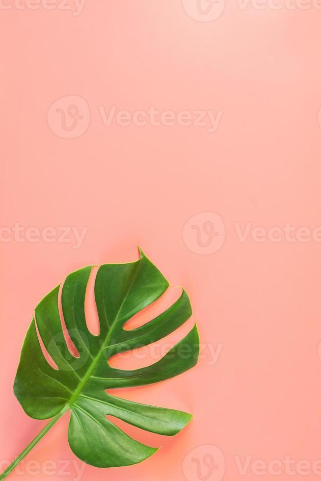 monstera blad på rosa bakgrund foto