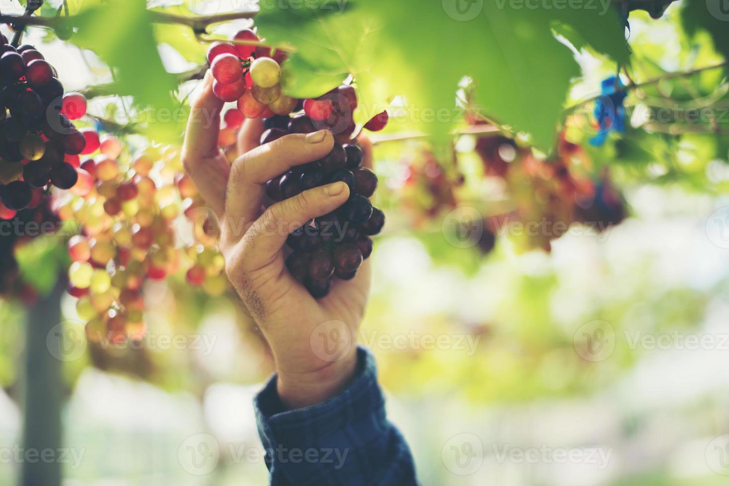 ung kvinna som skördar druvor i vingården under skördesäsongen foto