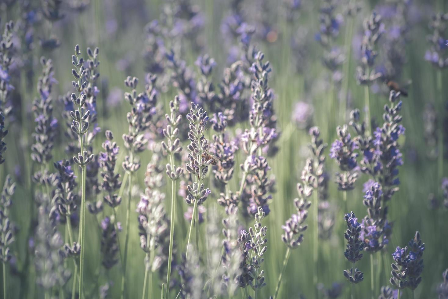 lavendelblommor med bin foto