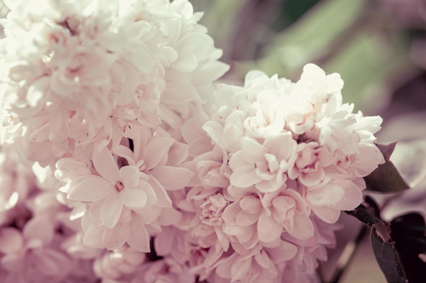 gren av vita lila blommor foto