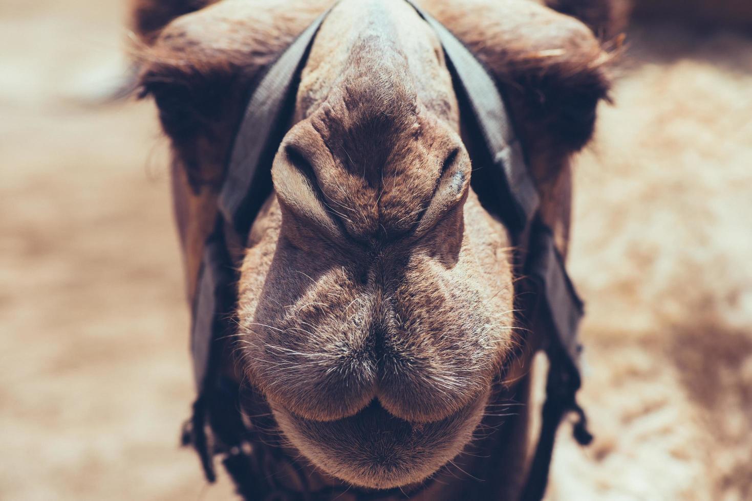 kamel ansikte närbild foto