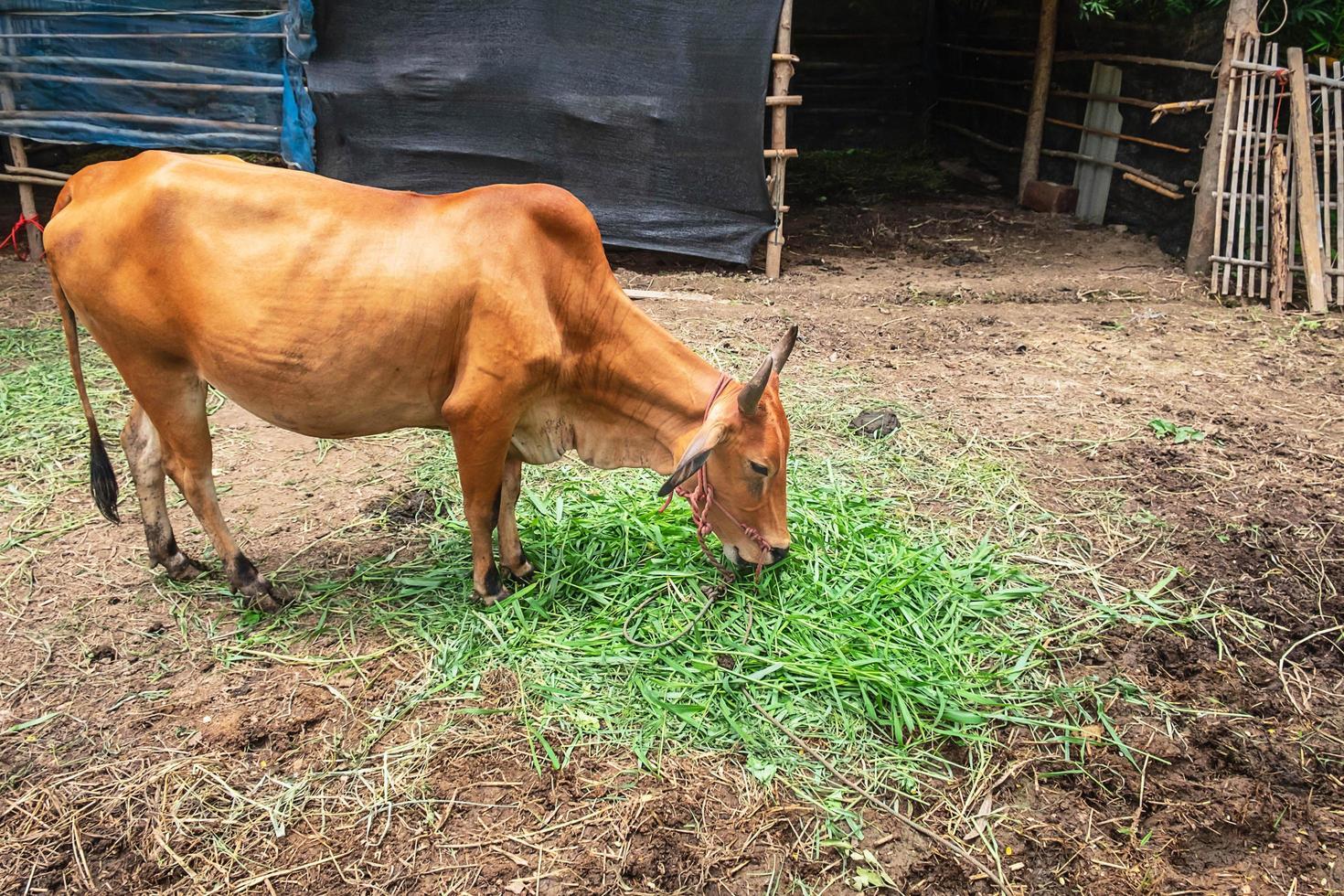sidoporträtt av en brun ko som betar på en gård foto