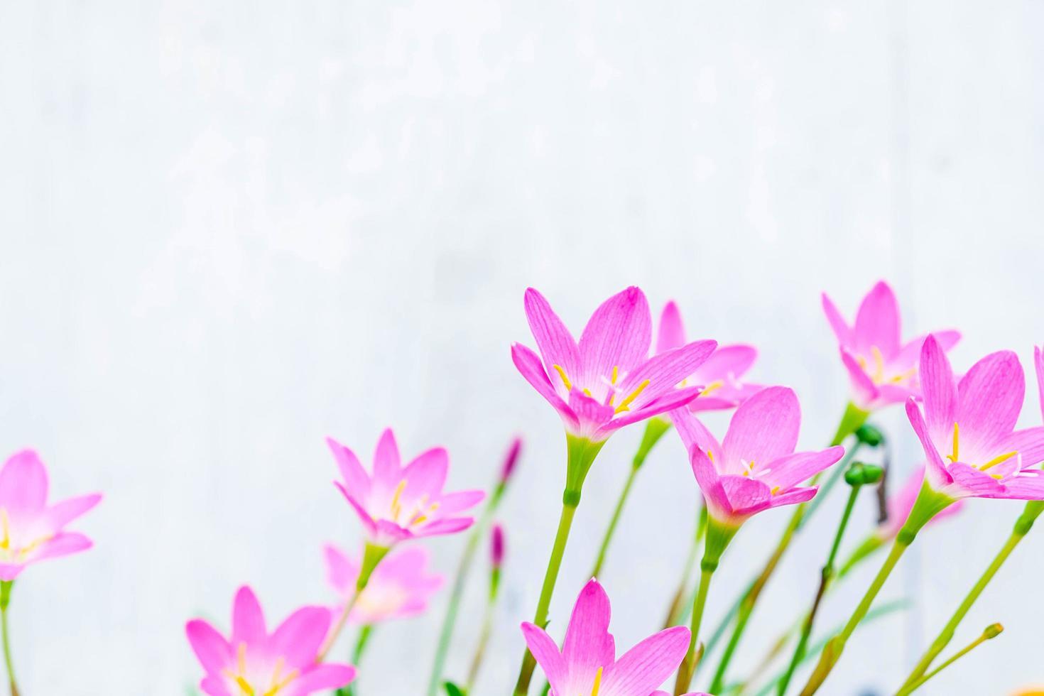 rosa och lila blommor bredvid en blå vägg foto
