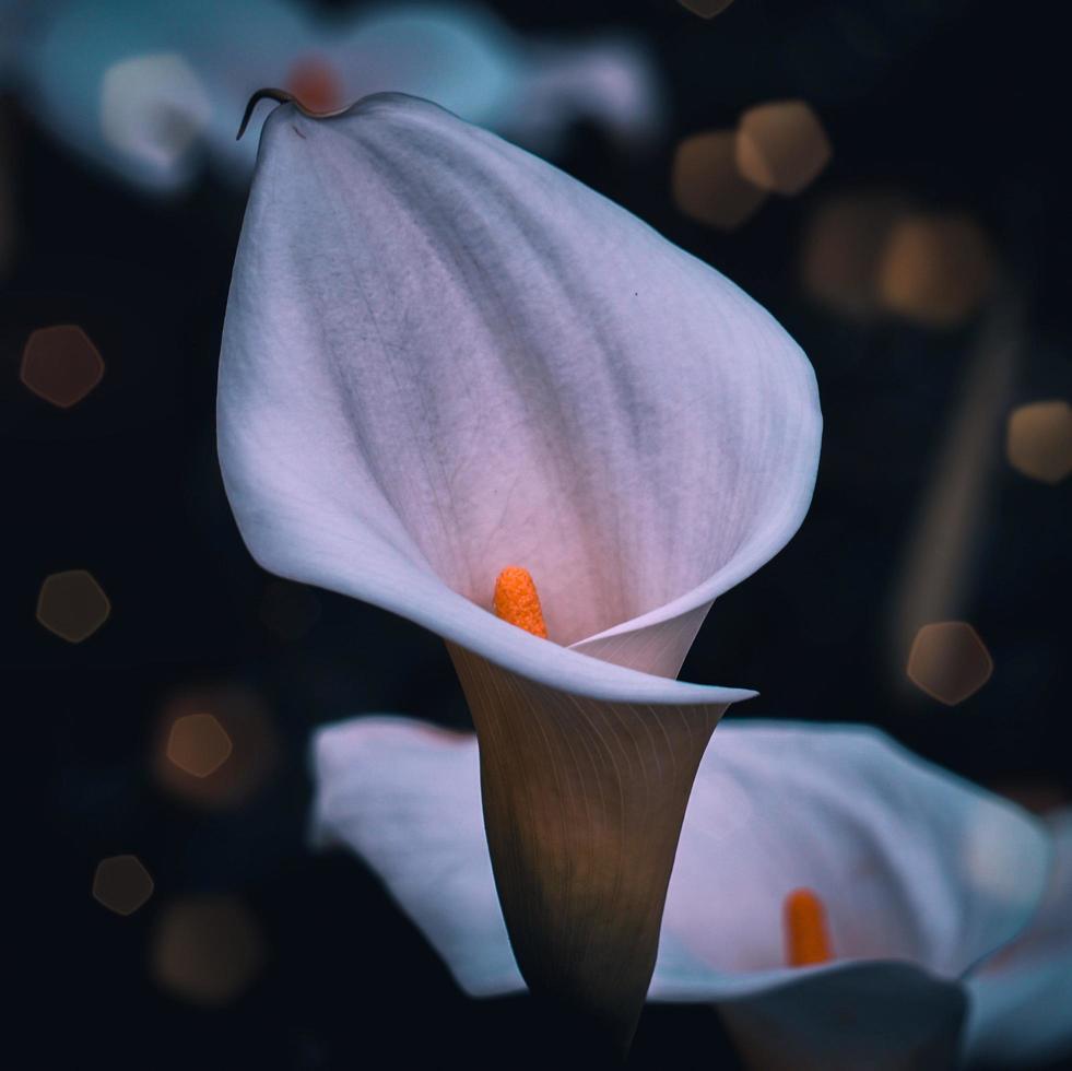 vacker vit lilja calla blomma under vårsäsongen foto