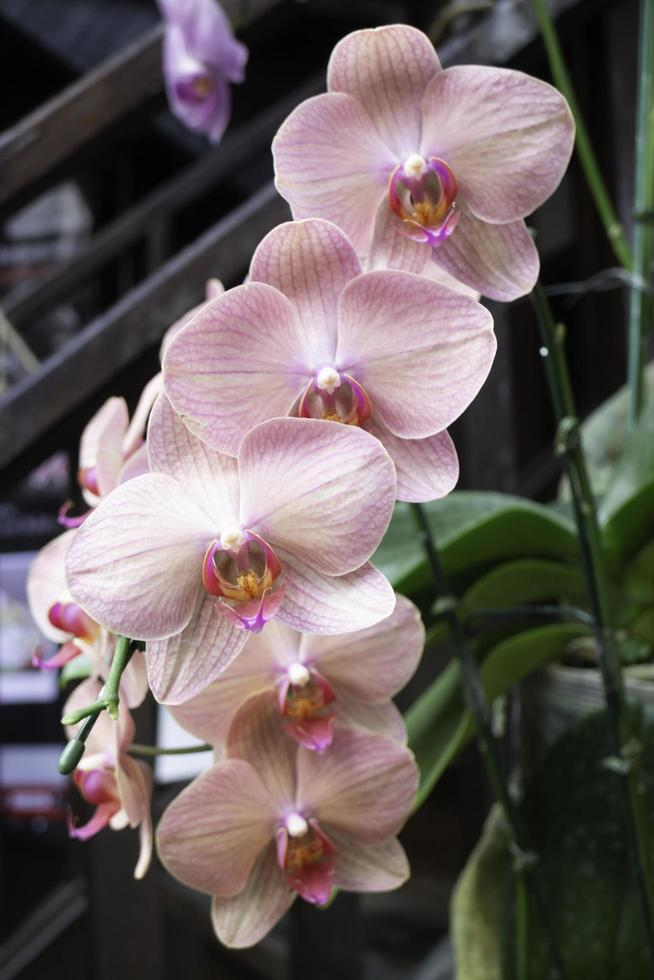 rosa orkidéväxt i trädgården foto