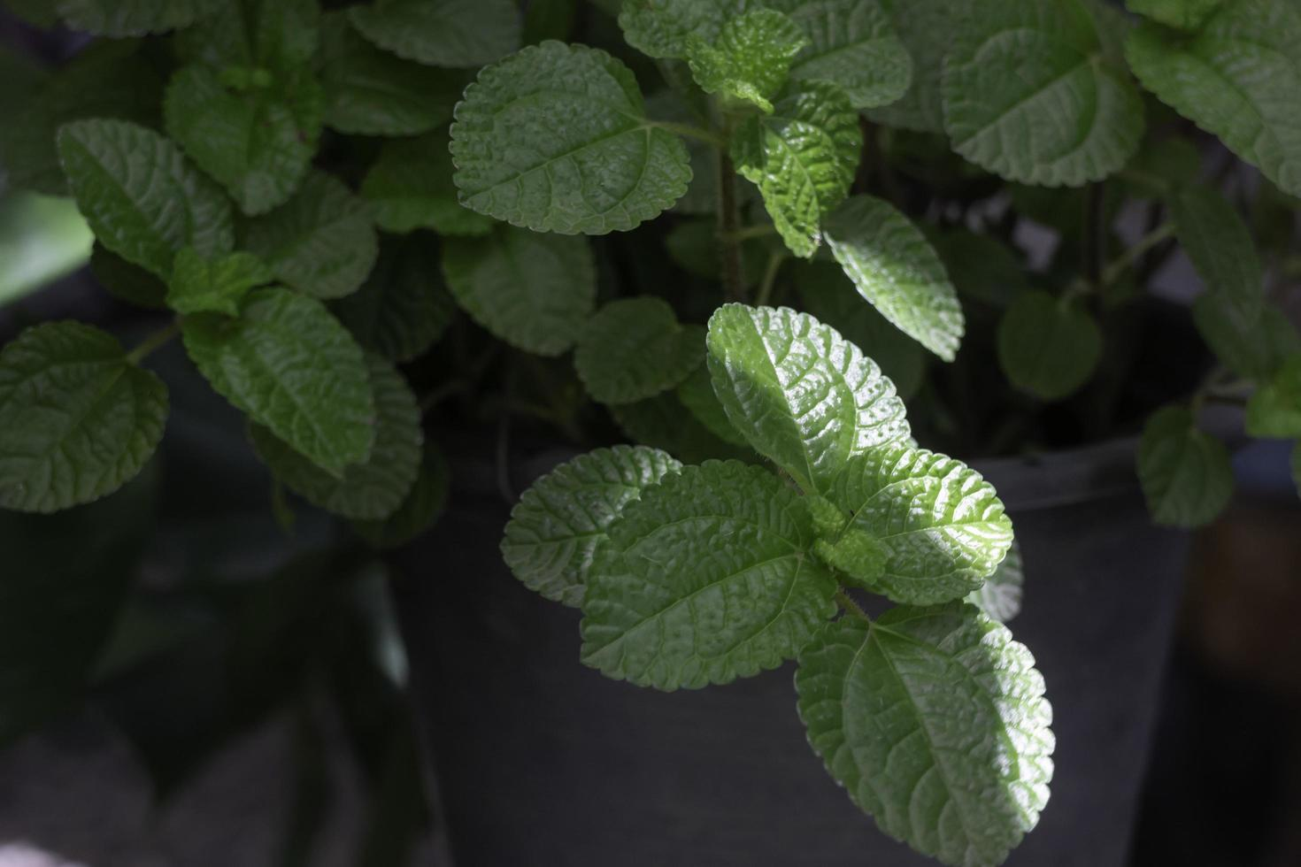 gröna mynta blad foto
