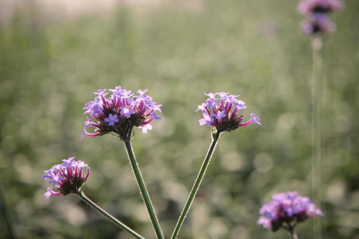 violett blomma i fält foto