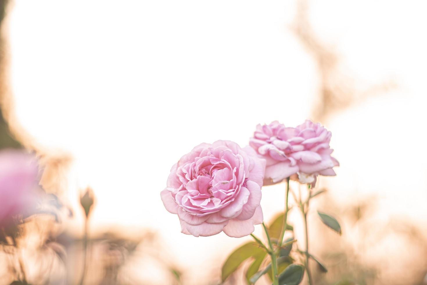 rosa ros i trädgården, ljus solnedgång ljus, blommig bakgrund foto