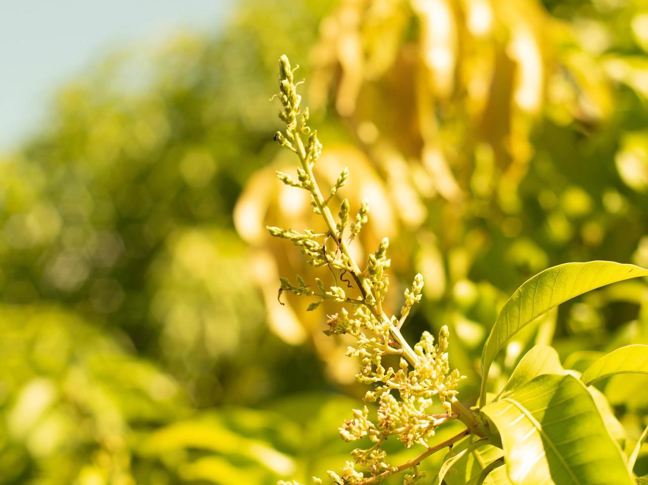 mjuk fokus närbild av mango blomma blommar foto