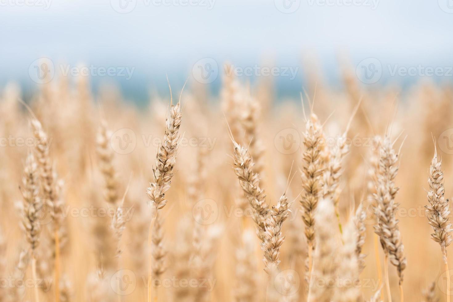 låg vinkel närbild av ett fält av vete i solljus foto