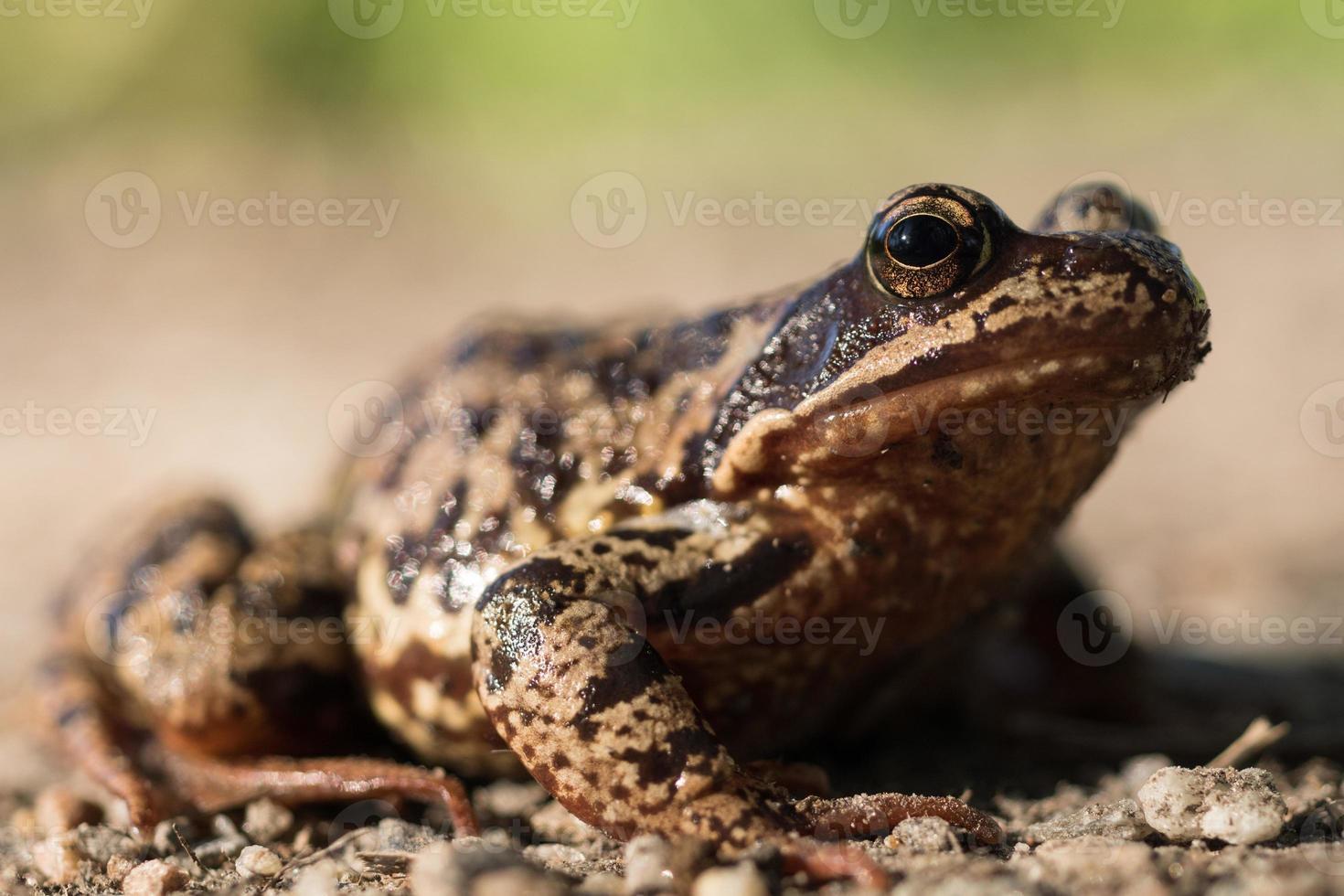 detaljerad närbild av en brun fläckig bladgroda i starkt solljus foto