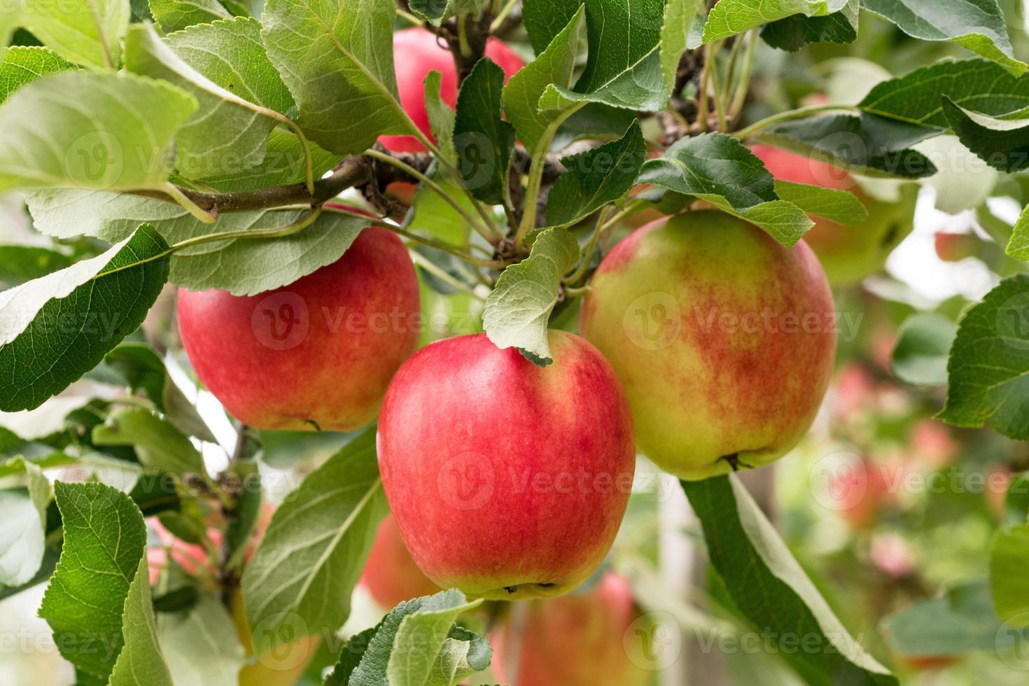 röda äpplen växer i trädet foto