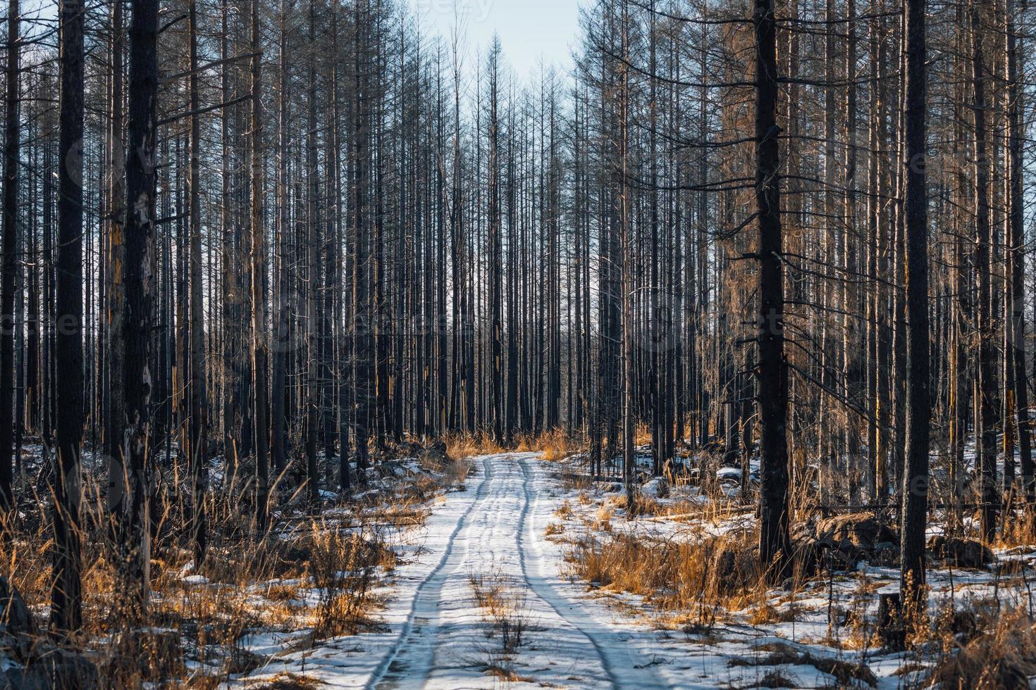 kvarvarande döda träd i en skog härjad av eld foto