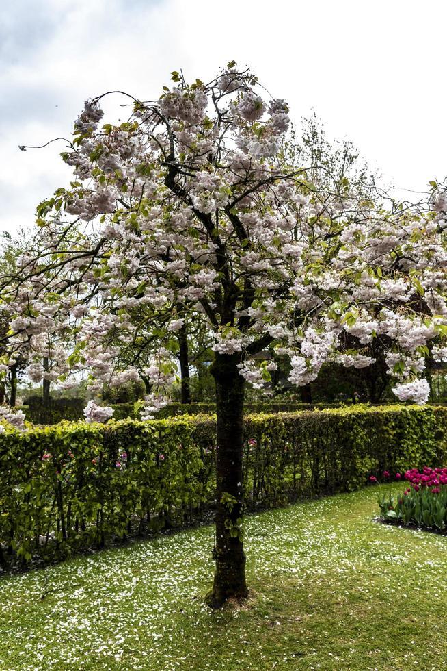 japansk körsbärsblomsträd blommar foto