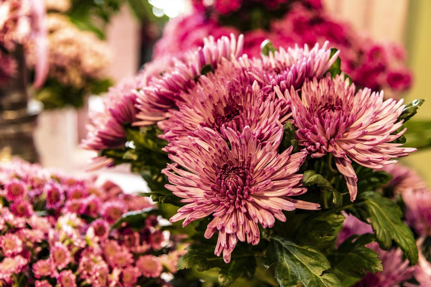 blommande rosa georginer foto